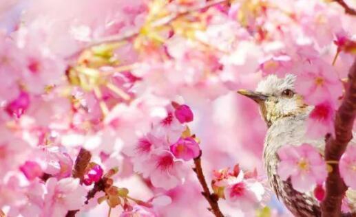 樱花树下浪漫的句子,赏樱花的说说心情短语